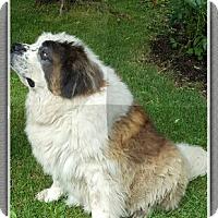 St. Bernard Dog for adoption in Pittsburgh, Pennsylvania - Charlie