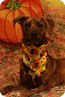 Boxer Mix Dog for adoption in Twin Falls, Idaho - Morticia