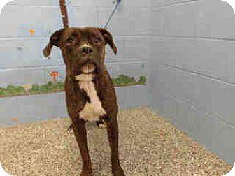 Boxer Dog for adoption in San Bernardino, California - URGENT ON 10/20 San Bernardino