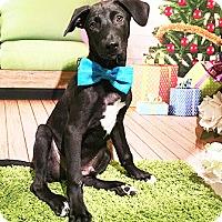 Labrador Retriever Mix Puppy for adoption in Castro Valley, California - Kevin