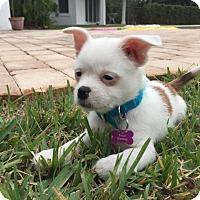 Adopt A Pet :: Prince Charming - Royal Palm Beach, FL