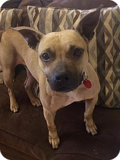 Staffordshire Bull Terrier Mix Dog for adoption in Manchester, Connecticut - Jo in CT