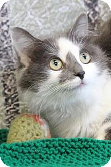 Domestic Mediumhair Cat for adoption in South Bend, Indiana - Smile - $50 adopt