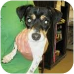 Jack Russell Terrier/Chihuahua Mix Puppy for adoption in Gilbert, Arizona - SARAH
