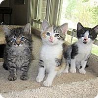 Adopt A Pet :: Tess's Kittens - Arlington, VA