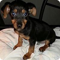 Adopt A Pet :: Rudolph - Detroit, MI