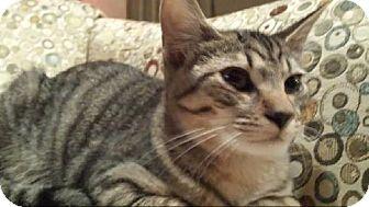 Domestic Shorthair Cat for adoption in Grand Blanc, Michigan - Rupert