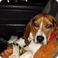 Adopt A Pet :: Bo Baron - Ortonville, MI