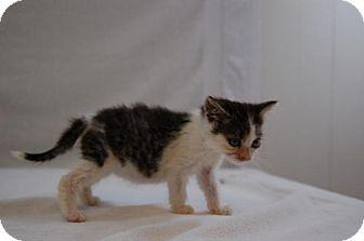 Domestic Mediumhair Kitten for adoption in Harrisonburg, Virginia - Jeanette