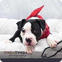 Adopt A Pet :: Walker - Frisco, TX