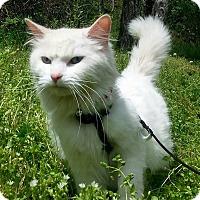 Adopt A Pet :: Snow - Shinnston, WV