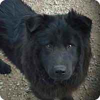 Adopt A Pet :: Chase - Liberty, MO