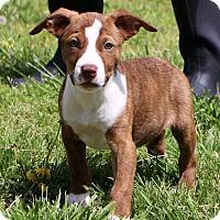 Adopt A Pet :: Locket - Glastonbury, CT
