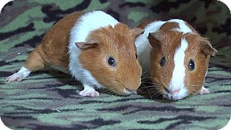 Guinea Pig for adoption in Steger, Illinois - Paras
