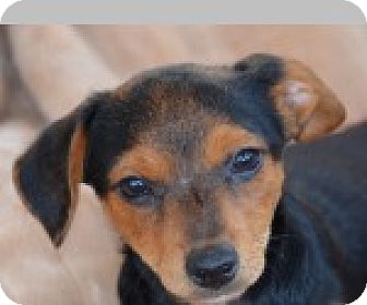 Dachshund Mix Dog for adoption in Pittsboro, North Carolina - Crispin