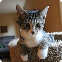 Domestic Shorthair Kitten for adoption in Huntsville, Alabama - Cozmo