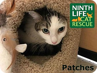 Domestic Shorthair Cat for adoption in Oakville, Ontario - Patches