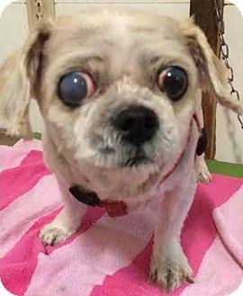 Shih Tzu Dog for adoption in Homer Glen, Illinois - Snuggles