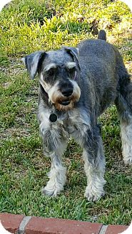 Miniature Schnauzer Dog for adoption in Cerritos, California - Rocky