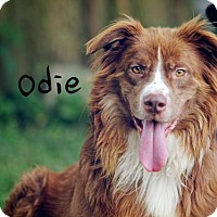 Adopt A Pet :: Odie - Joliet, IL