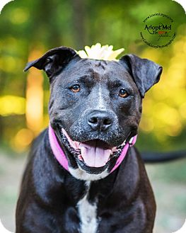 Pit Bull Terrier/Labrador Retriever Mix Dog for adoption in Cincinnati, Ohio - Cricket- WAIVED FEE