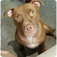 Pit Bull Terrier Mix Dog for adoption in Baltimore, Maryland - Cinnamon (COURTESY POST)