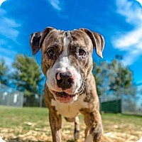 Adopt A Pet :: Bentley - Villa Park, IL