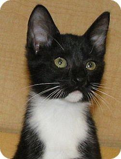 Domestic Shorthair Kitten for adoption in Tulsa, Oklahoma - Ellen
