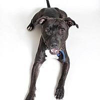 Adopt A Pet :: Maverick - Sacramento, CA