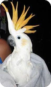 Cockatoo for adoption in Northbrook, Illinois - Martha