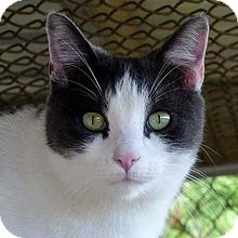 Domestic Shorthair Cat for adoption in Phoenix, Arizona - Althea