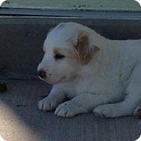 Adopt A Pet :: Cruzer - Greeley, CO