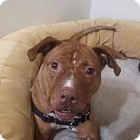Hound (Unknown Type)/Pit Bull Terrier Mix Dog for adoption in New York, New York - Rufus