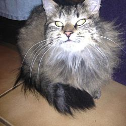 Photo 4 - Domestic Longhair Cat for adoption in Walnut Creek, California - Moonbeam