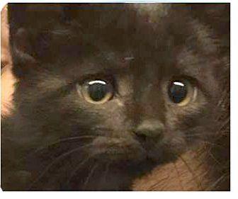 Domestic Mediumhair Kitten for adoption in Springdale, Arkansas - Kris