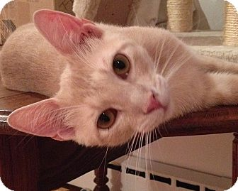 Bengal Kitten for adoption in Germantown, Maryland - Lenny