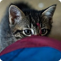 Domestic Shorthair Kitten for adoption in Lambertville, New Jersey - Pookie
