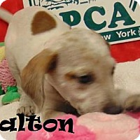 Adopt A Pet :: Dalton - Ringwood, NJ