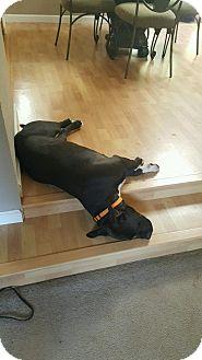 American Pit Bull Terrier/Labrador Retriever Mix Dog for adoption in Portland, Oregon - Bella