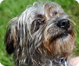 Yorkie, Yorkshire Terrier Mix Dog for adoption in New Iberia, Louisiana - NINA