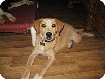 Labrador Retriever Mix Dog for adoption in Somerset, Kentucky - Maddie-ADOPTED