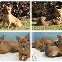 German Shepherd Dog Mix Dog for adoption in New York, New York - Kali