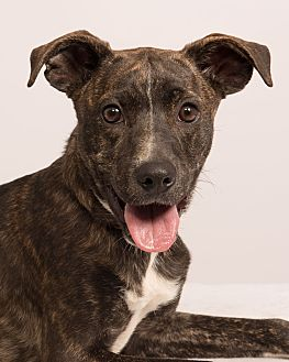 Boxer/Labrador Retriever Mix Dog for adoption in St. Louis, Missouri - Kurt Boxador