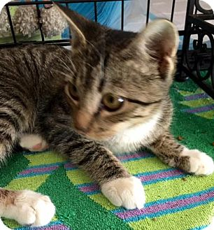 Domestic Shorthair Kitten for adoption in Orlando, Florida - Sweetheart (KJ) 6.12.16