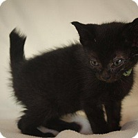 Adopt A Pet :: Scrabbler - Angola, IN