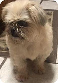 Shih Tzu Dog for adoption in Quinlan, Texas - Maddie girl