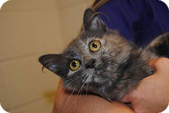 Domestic Mediumhair Cat for adoption in Windsor, Virginia - North