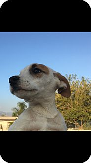 Labrador Retriever/Retriever (Unknown Type) Mix Puppy for adoption in LAKEWOOD, California - Babie