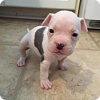 Adopt A Pet :: Buttercream - New York, NY