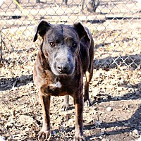 Boxer/Greyhound Mix Dog for adoption in Pittsburg, Kansas - Shasta